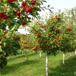 buy apple trees